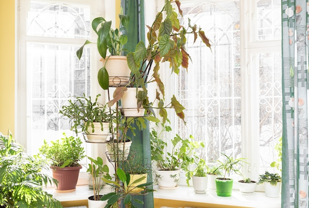 Home garden with green potted house plants on flower stand near windows and on windowsills in sunny winter day.