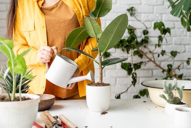 가정 원예. 젊은 ficus 식물에 물을 여성 정원사