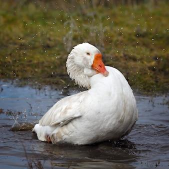 Home goose swims spring lake.