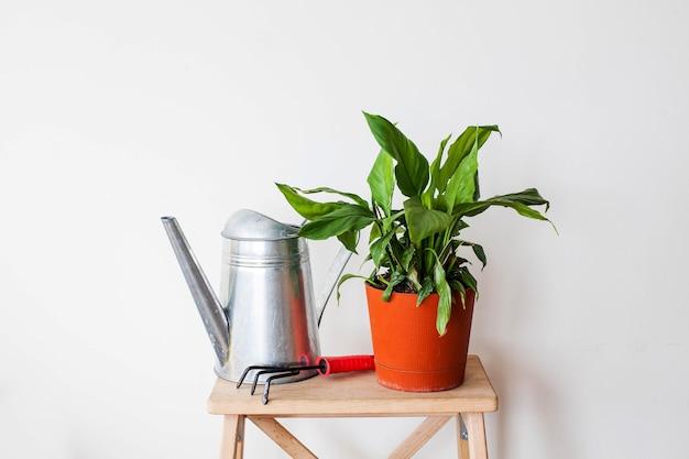 じょうろが付いている鍋の家の緑の植物spathiphyllum。観葉植物の概念。