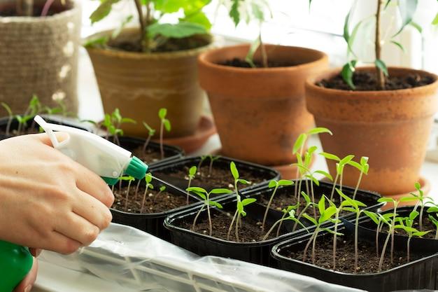 自家製トマトの苗。女性は苗に水をやっています。セレクティブフォーカス。
