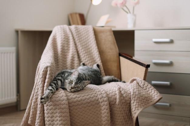 自宅の肘掛け椅子に横たわっているホームペットかわいい猫。かわいいスコットランドのストレートグレーのぶち猫の肖像画。