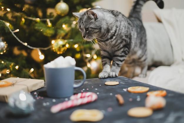 お祝いのクリスマスのインテリアでホームペットかわいい子猫猫屋内でかわいいスコティッシュストレート猫