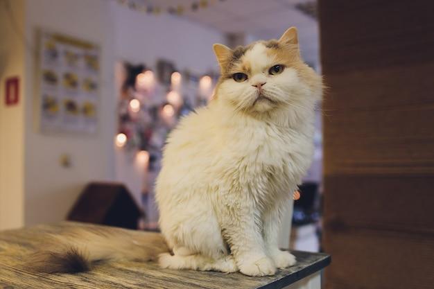 面白い見ているクローズアップ写真と椅子に横たわっているホームペットかわいい子猫猫。