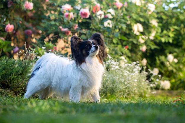 Домашний питомец, собака породы папильон в саду
