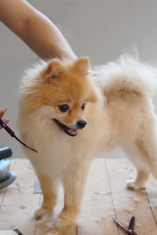 Home pet grooming, a pet owner trying to cut the hair of his pet or pomeranian dog with curved scissors that standing on a center of the wooden table