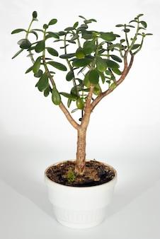 明るい背景の家の植物「クラッスラ属argentea」(隔離されていない)。 3ショットステッチ画像。