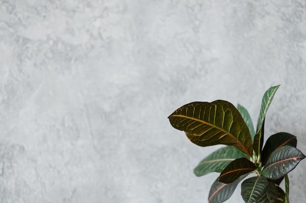 Декор домашнего растения. концепт дизайна. листва каучукового растения. скопируйте пространство на сером фоне.