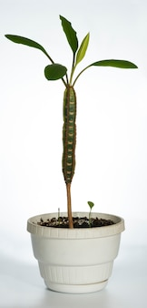 白地に自生植物「euphorbialeuconeura」