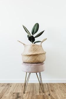 흰색의 자에 밀짚 가방에 집 식물 ficus elastica 로부스타