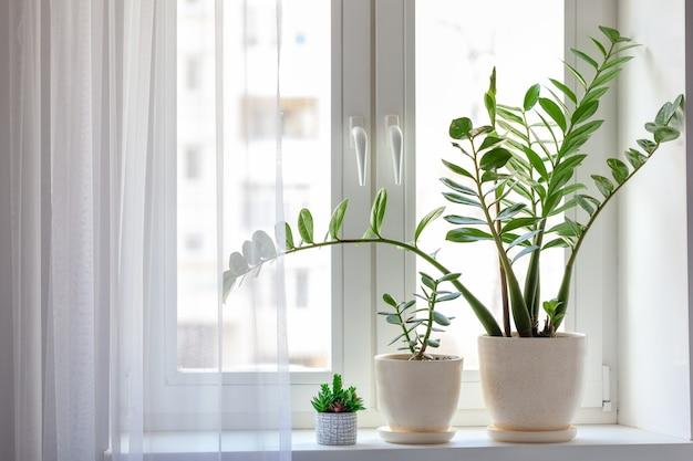 窓に緑の葉を持つ観葉植物。窓辺の屋内装飾および落葉観葉植物。