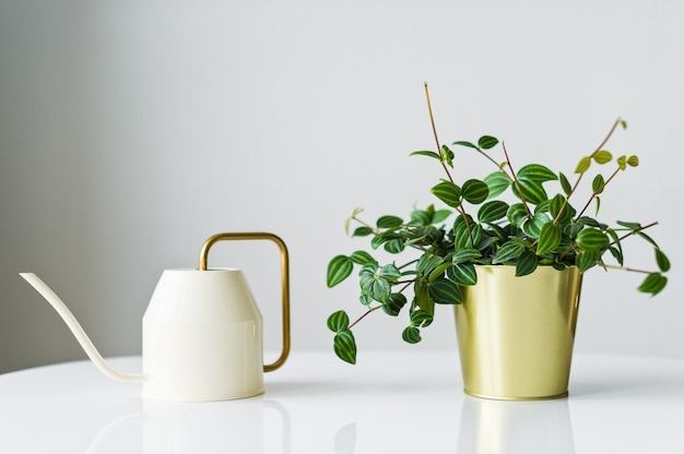 Home succulent plant in a golden pot and a white watering can on a white background.