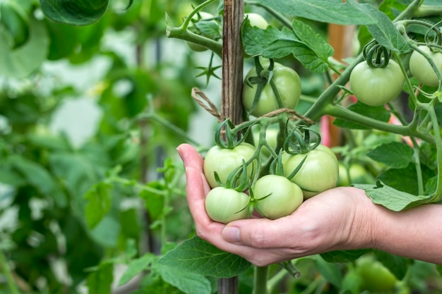 Homegrown, gardening and agriculture consept. female hand hold a bunch of organic unripe green tomato in a greenhouse. natural vegetable organic food production.
