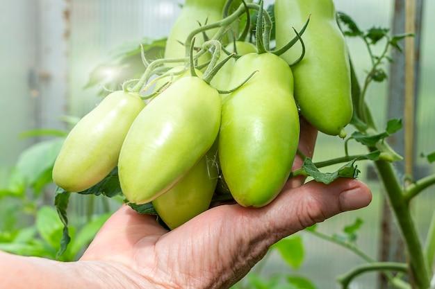 自家製、ガーデニング、農業の概念。女性農家の手は温室で有機未熟グリーントマトの束を保持します。自然野菜の有機食品の生産。