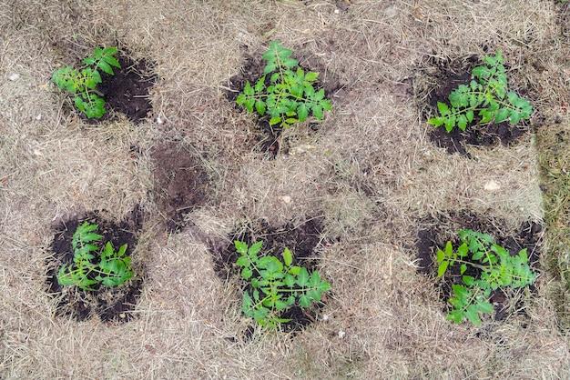 温室内の自家製トマト植物。