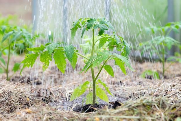 成長の初期段階で野菜を含まない自家製のトマト植物。
