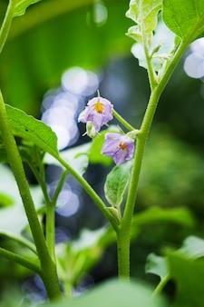 Доморощенные овощи. фиолетовые цветы зеленого бринджала или круглого баклажана с солнечным светом в саду