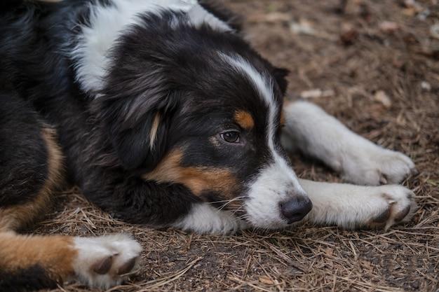 노숙자 버려진 외로운 슬픈 개 야외. 호주 셰퍼드 3색 강아지는 풀밭에 누워 있습니다.