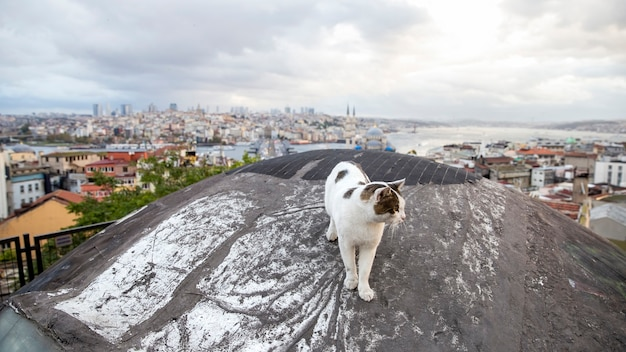 A homeless cat with white and brown fur on a rood with view of istanbul, istanbul