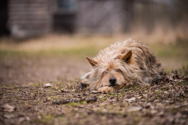 Бездомная собака охраняет старый дом в деревне Premium Фотографии