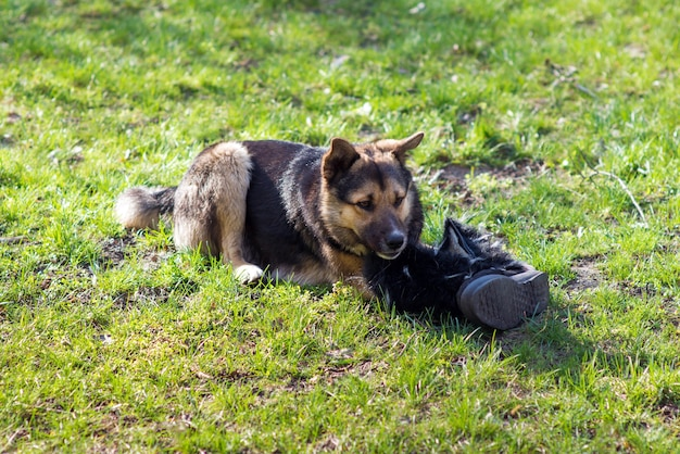 Homeless dog lies on the grass and nibbles shoes