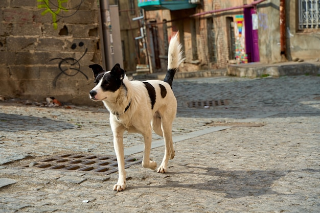 Homeless dog on the street of old tbilisi.