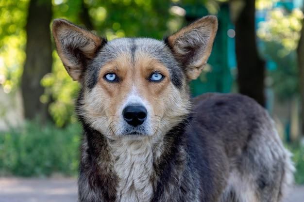 美しい青い目をしたホームレスの犬。