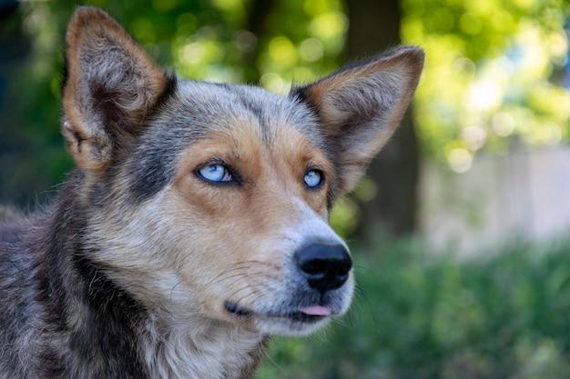 青い目、クローズアップ銃口、目に選択的な焦点を当てたホームレスの犬