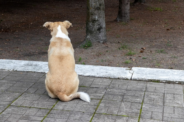 Homeless dog with a chip in its ear sits with its back on the ground