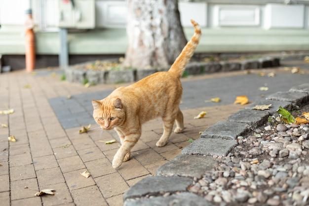 노숙자 생강 고양이가 보도를 따라 달린다. 도시 환경에서 애완 동물의 생활