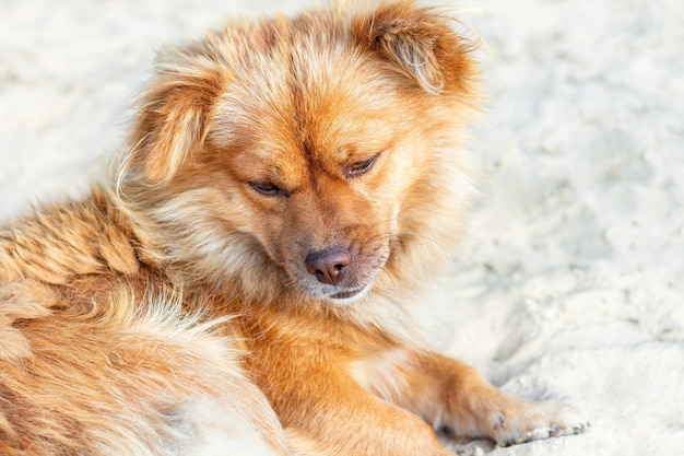 Homeless ginger dog with sad eyes outdoors closeup