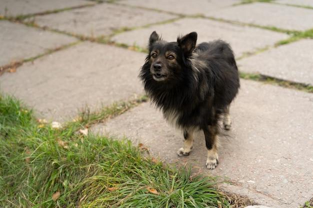 Homeless mongrel stands alone on sidewalk. black shaggy dog