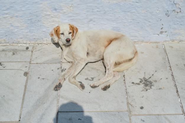 Бездомная спящая собака, лежащая на дороге в солнечный летний день. собака проснулась сонно, открыв глаза глядя в камеру