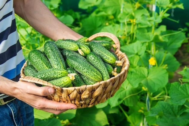 自家製キュウリの栽培と男性の手による収穫。