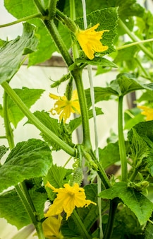 Homemade cucumber cultivation and harvest. selective focus.
