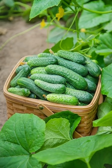 Homemade cucumber cultivation and harvest.