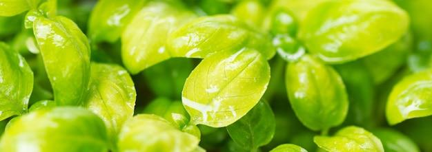 Домашние свежие органические микрозелени. микро зеленый базилик крупным планом
