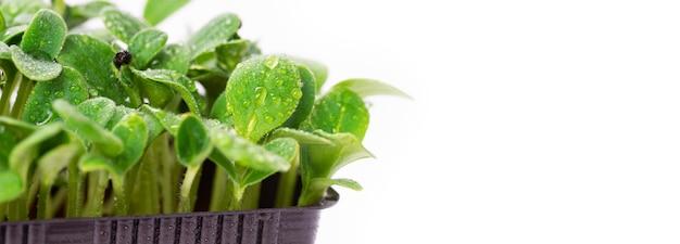 Домашние свежие органические микрозелени. микро зеленый подсолнух на белом фоне с местом для текста