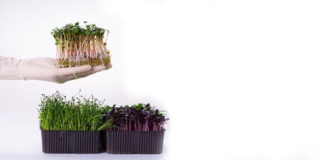 Домашние свежие органические микрозелени на руке женщины на белом фоне. крупный план. микро-зелень редиса и лука на белом фоне с пространством для текста