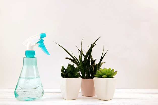 Homemade little evergreen succulents stand next to a spray bottle with water on a white