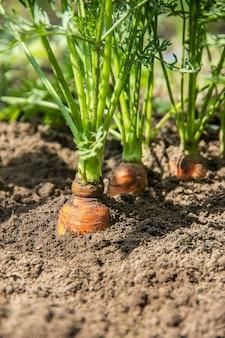 Homemade organic carrots grow in the garden. selective focus.