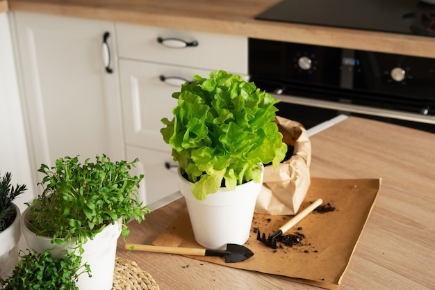 Homemade organic herb garden in the kitchen. lettuce, rosemary, microgreens, cilantro, radish. healthy food. planting greenery in a pot of soil with mini garden tools.