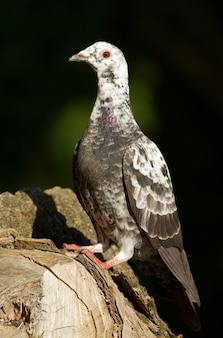 Homing pigeon sits on an old tree stump