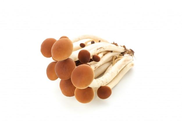 Honey agaric mushrooms isolated on white