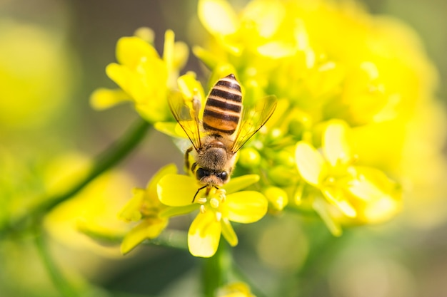 Honey bee collecting pollen on canola flower