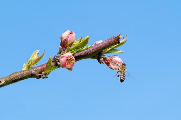 咲く桃の木から花粉を集めるミツバチ。