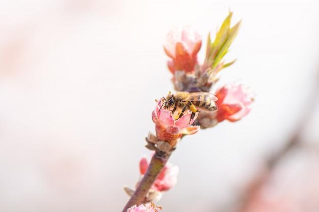 피 복숭아 나무에서 꽃가루를 수집하는 꿀벌.
