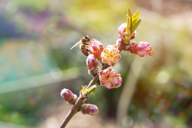 Honey bee collecting pollen from a blooming peach tree.