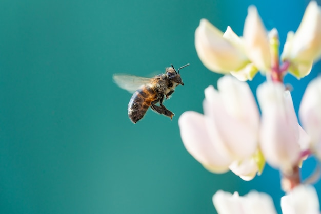 Honey bee collecting pollen from flowers.