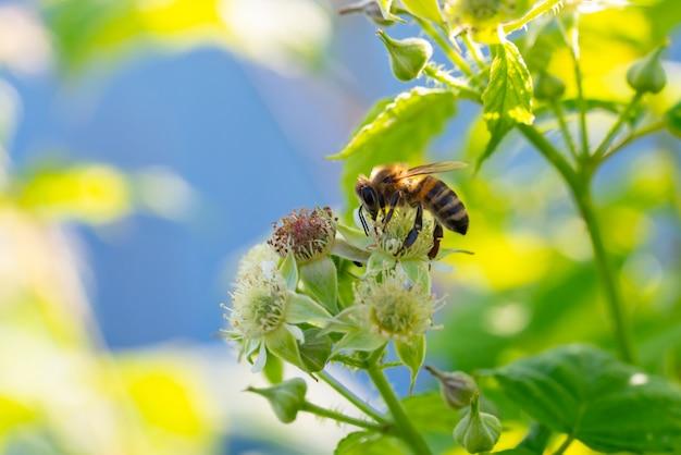 花から花粉を集めるミツバチ